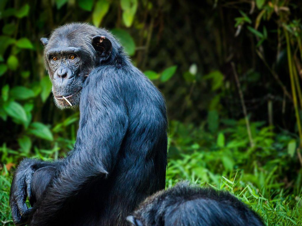 chimpanzee-1545010_1920